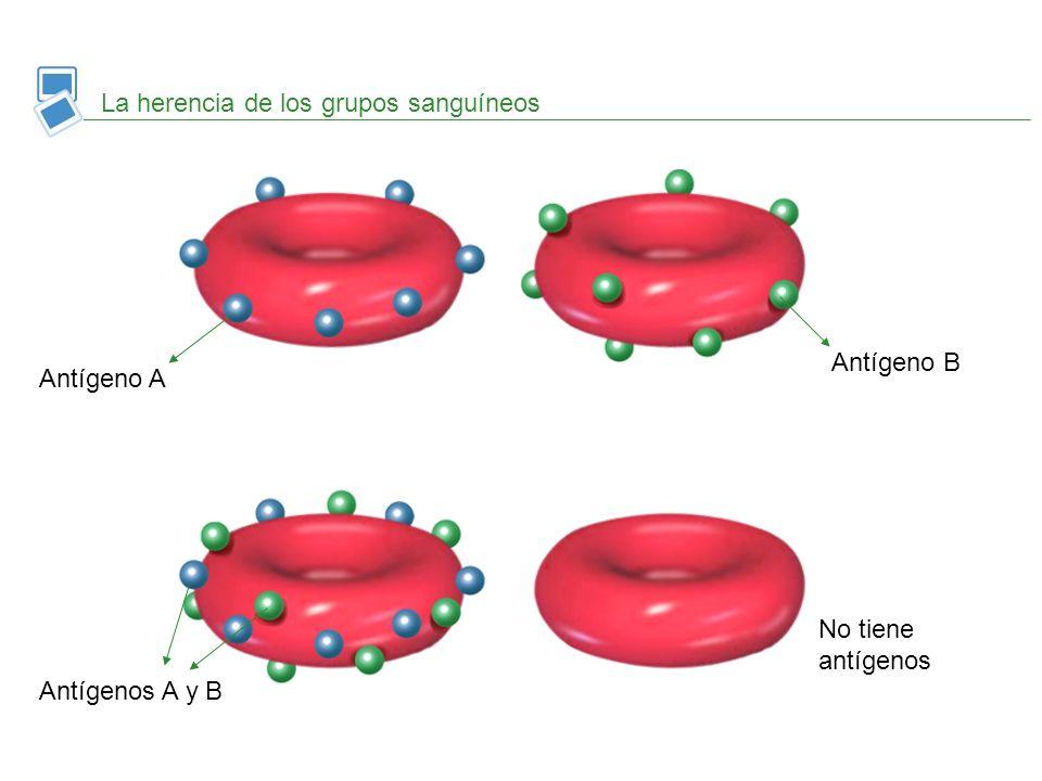 La herencia de los grupos sanguíneos Antígeno A Antígeno B Antígenos A y B No tiene antígenos