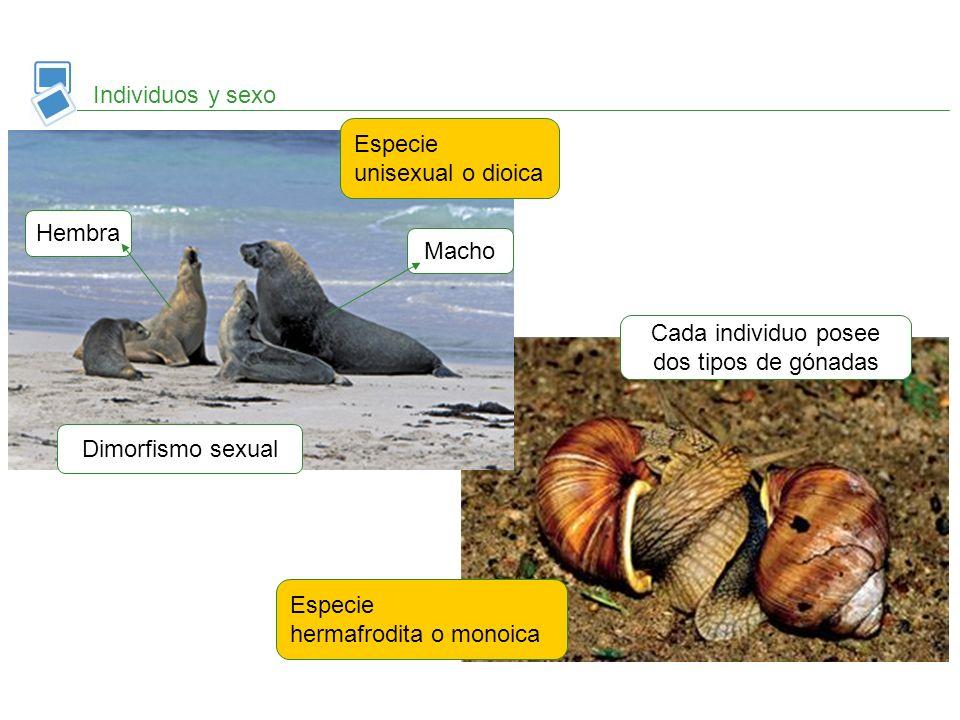 Individuos y sexo Especie unisexual o dioica Macho Hembra Dimorfismo sexual Especie hermafrodita o monoica Cada individuo posee dos tipos de gónadas