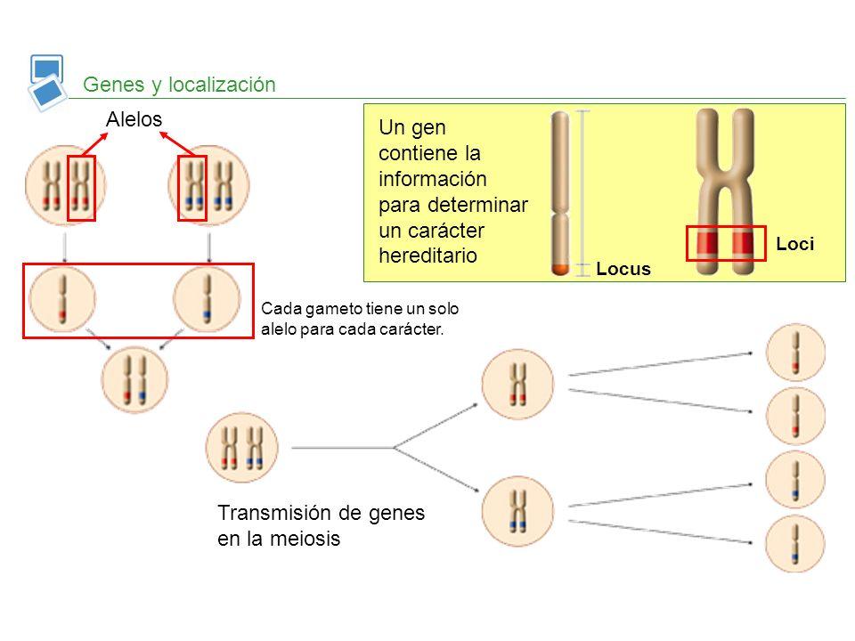 Genes y localización Un gen contiene la información para determinar un carácter hereditario Locus Loci Alelos Cada gameto tiene un solo alelo para cad