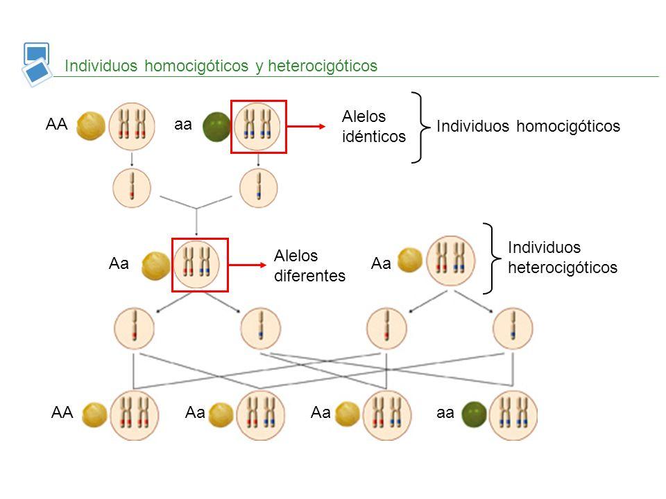 Individuos homocigóticos y heterocigóticos Alelos idénticos Individuos homocigóticos AAaa Individuos heterocigóticos Aa AaAaAAaa Alelos diferentes Aa