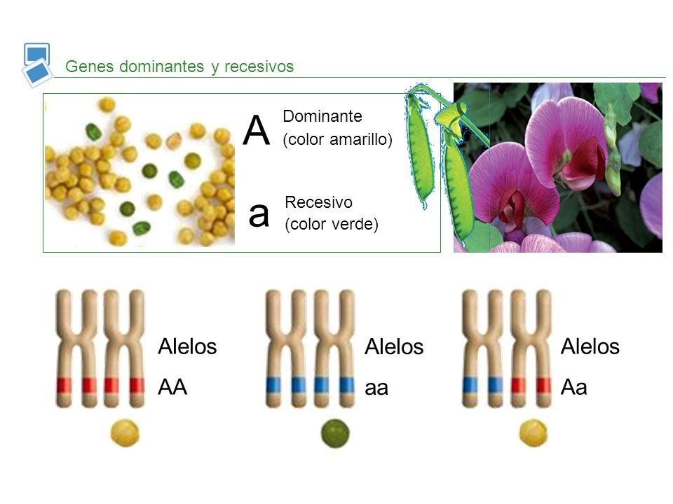 Genotipo y fenotipo Genotipo Conjunto de genes que posee un individuo y que ha heredado de sus progenitores.