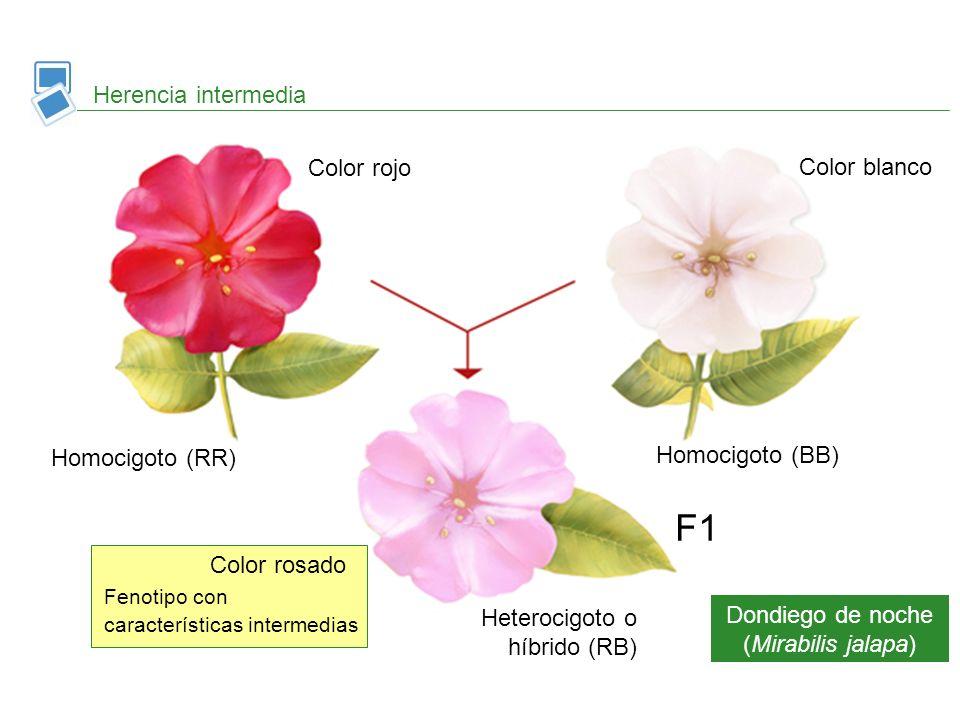 Herencia intermedia Dondiego de noche (Mirabilis jalapa) Homocigoto (RR) Color rojo Color blanco Homocigoto (BB) Heterocigoto o híbrido (RB) F1 Color