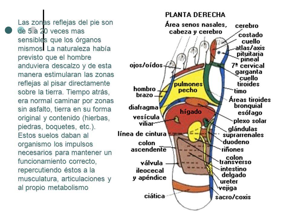 Las zonas reflejas del pie son de 5 a 20 veces mas sensibles que los órganos mismos. La naturaleza había previsto que el hombre anduviera descalzo y d