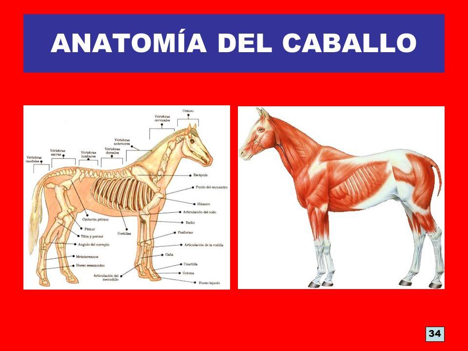 ANATOMÍA DEL CABALLO 34