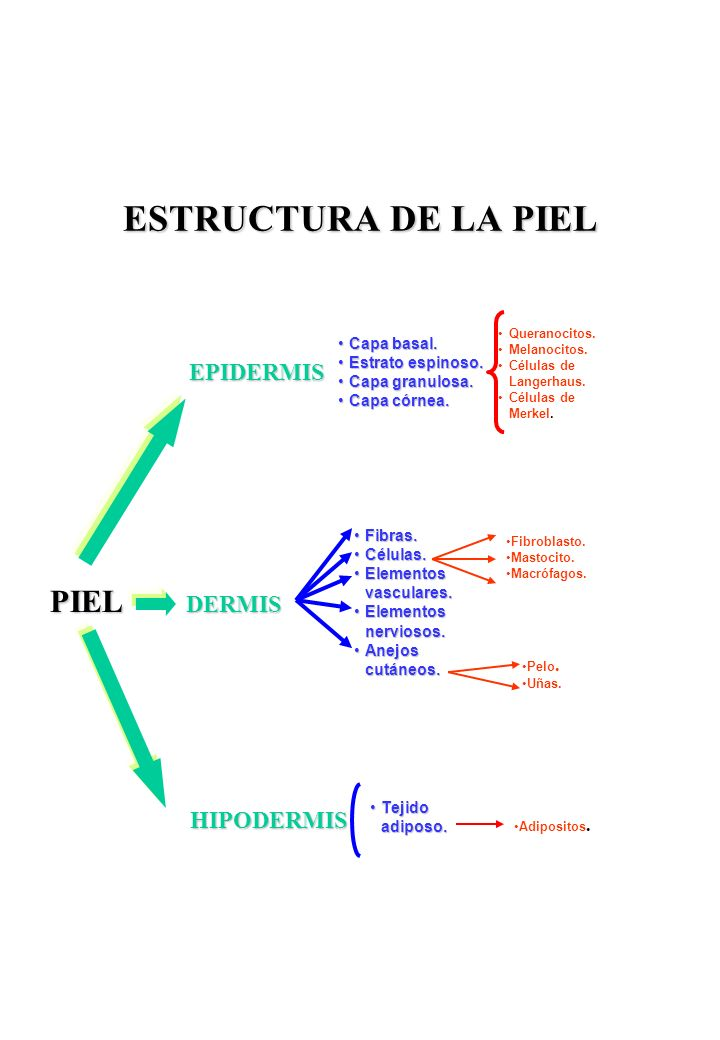 ESTRUCTURA DE LA PIEL EPIDERMIS Capa basal.Capa basal.