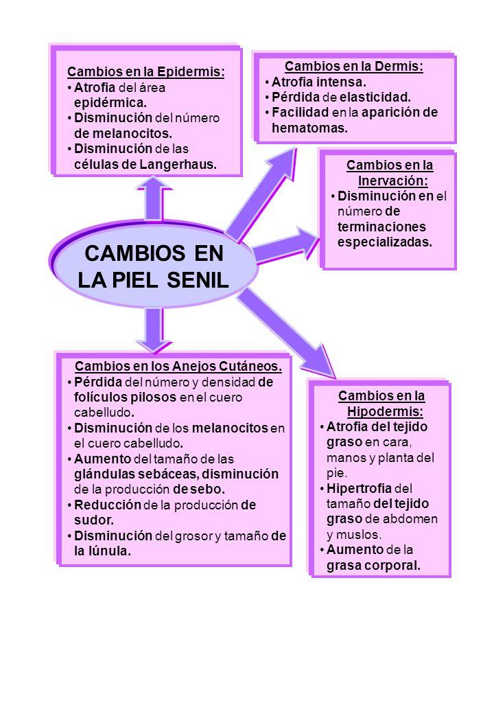 CAMBIOS EN LA PIEL SENIL Cambios en la Epidermis: Atrofia del área epidérmica.