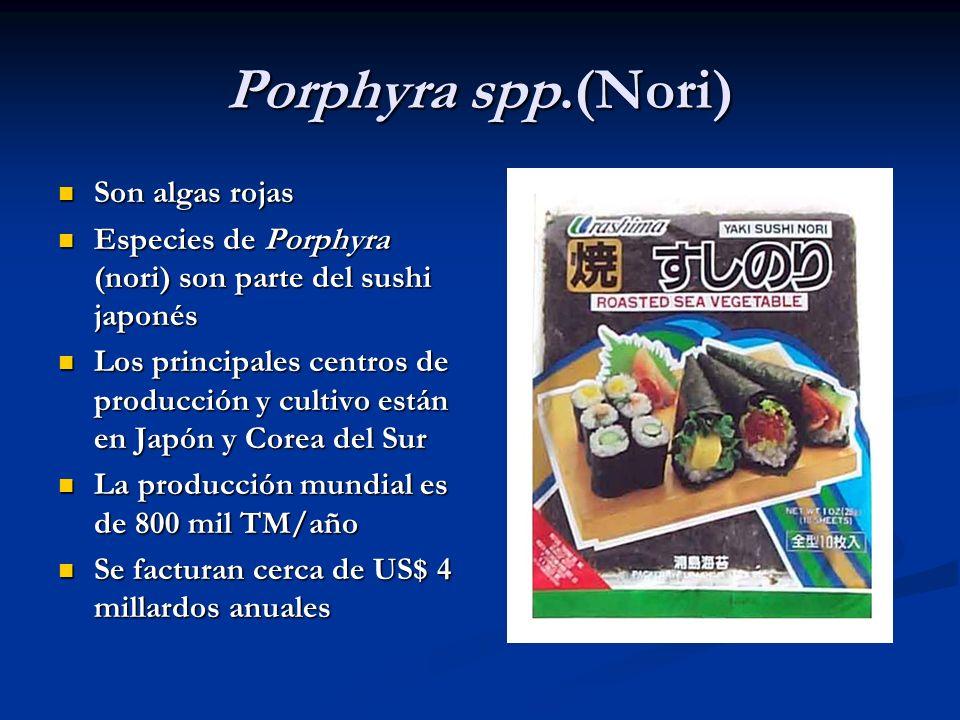 Porphyra spp.(Nori) Son algas rojas Son algas rojas Especies de Porphyra (nori) son parte del sushi japonés Especies de Porphyra (nori) son parte del
