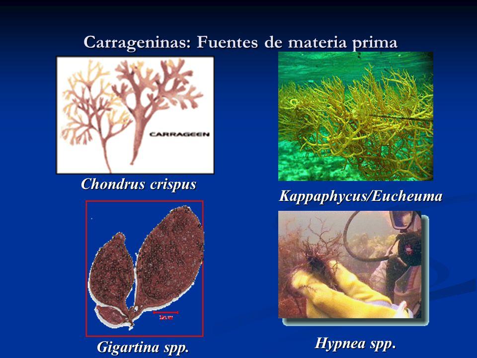 Carrageninas: Fuentes de materia prima Chondrus crispus Kappaphycus/Eucheuma Gigartina spp. Hypnea spp.