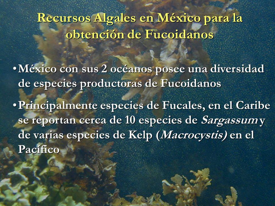 Recursos Algales en México para la obtención de Fucoidanos México con sus 2 océanos posee una diversidad de especies productoras de FucoidanosMéxico c