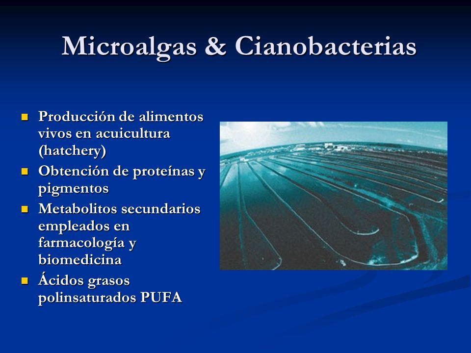 Microalgas & Cianobacterias Producción de alimentos vivos en acuicultura (hatchery) Producción de alimentos vivos en acuicultura (hatchery) Obtención