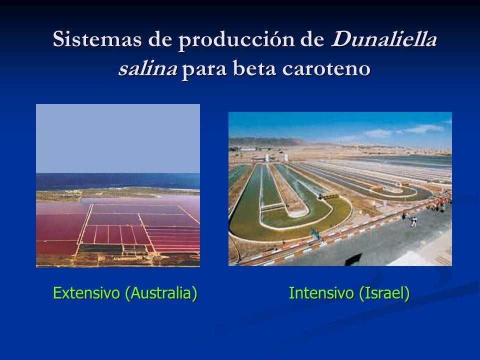Sistemas de producción de Dunaliella salina para beta caroteno Extensivo (Australia) Intensivo (Israel)