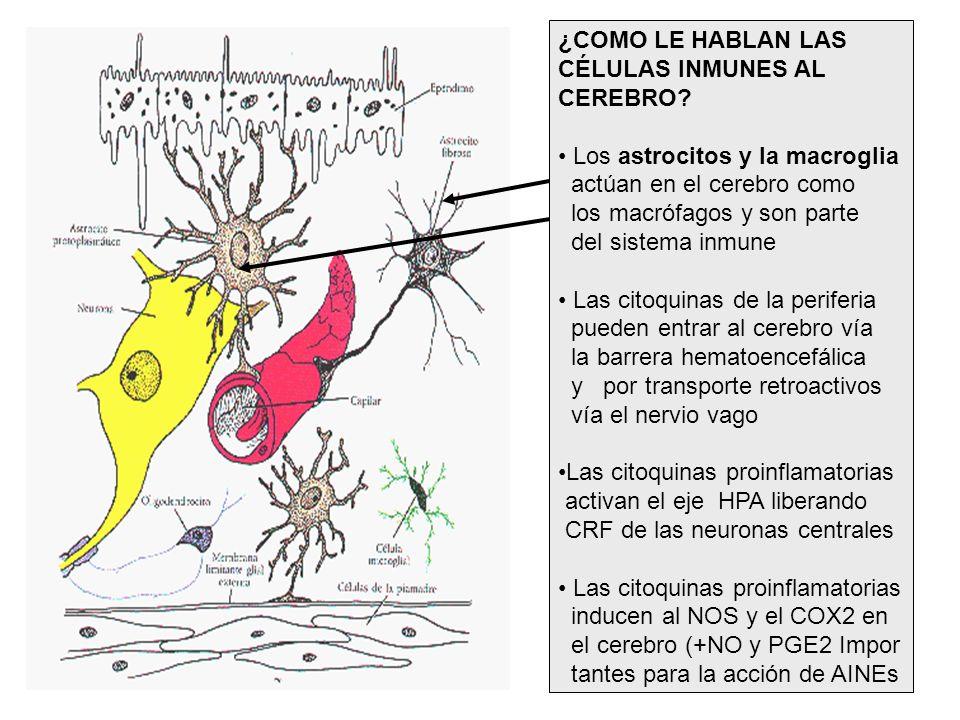 ¿COMO LE HABLAN LAS CÉLULAS INMUNES AL CEREBRO? Los astrocitos y la macroglia actúan en el cerebro como los macrófagos y son parte del sistema inmune