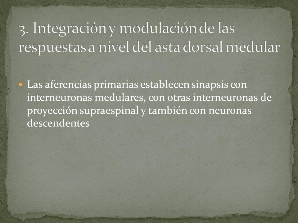 Se distinguen dos tipos de aferencias primarias que terminan en el asta dorsal de la medula espinal Fibras rápidas A delta (6-30 m/s) que transmiten d