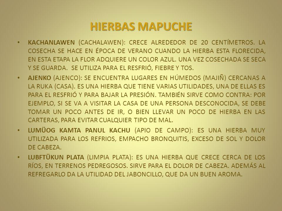 HIERBAS MAPUCHE KACHANLAWEN (CACHALAWEN): CRECE ALREDEDOR DE 20 CENTÍMETROS. LA COSECHA SE HACE EN ÉPOCA DE VERANO CUANDO LA HIERBA ESTA FLORECIDA, EN