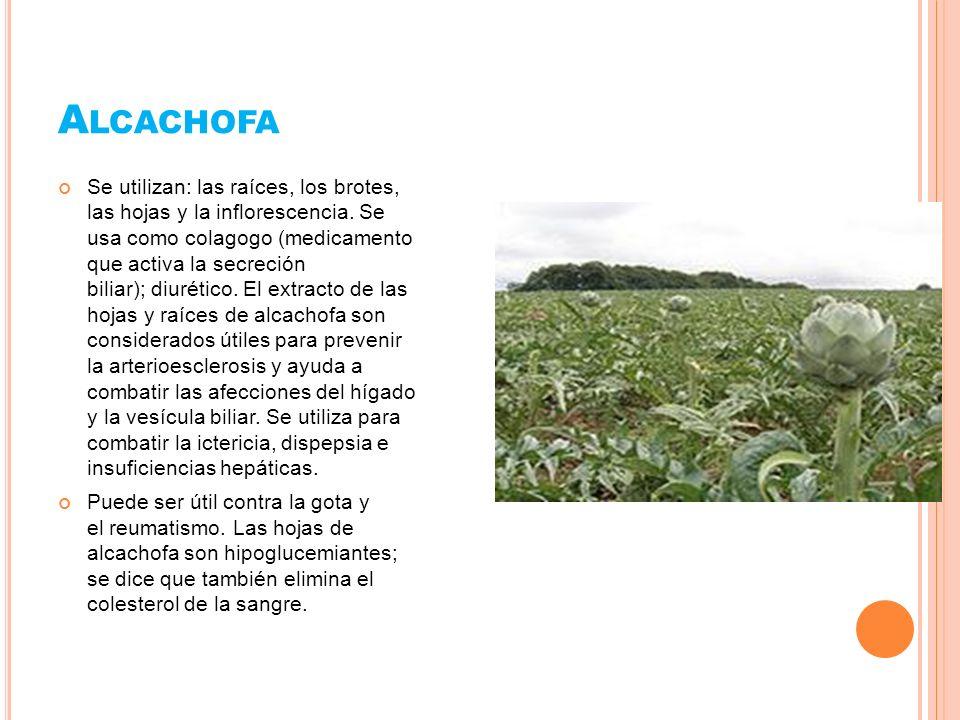 A LCACHOFA Se utilizan: las raíces, los brotes, las hojas y la inflorescencia. Se usa como colagogo (medicamento que activa la secreción biliar); diur