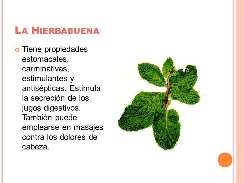 L A H IERBABUENA Tiene propiedades estomacales, carminativas, estimulantes y antisépticas. Estimula la secreción de los jugos digestivos. También pued