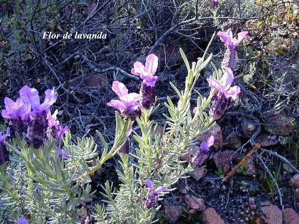 Lavanda (Lavandula angustifolia) Las mejores plantaciones de lavanda del mundo.