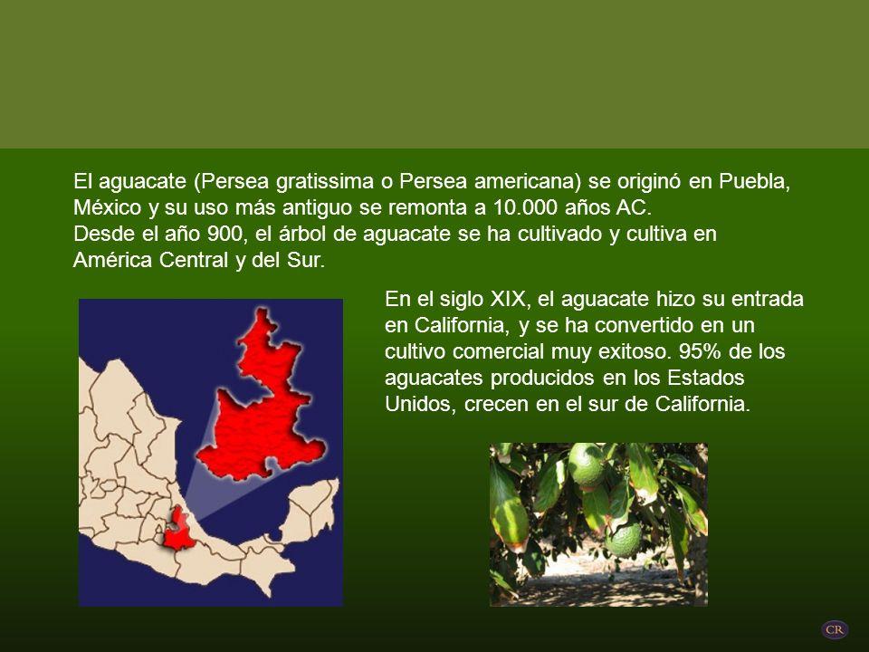 El aguacate (Persea gratissima o Persea americana) se originó en Puebla, México y su uso más antiguo se remonta a 10.000 años AC.
