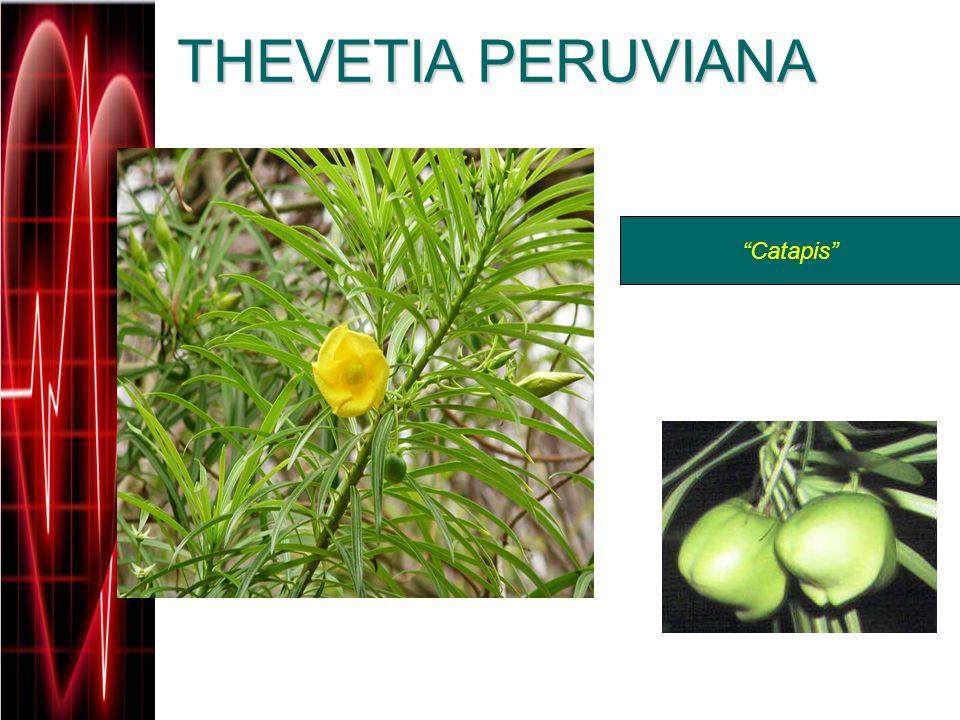 THEVETIA PERUVIANA Catapis