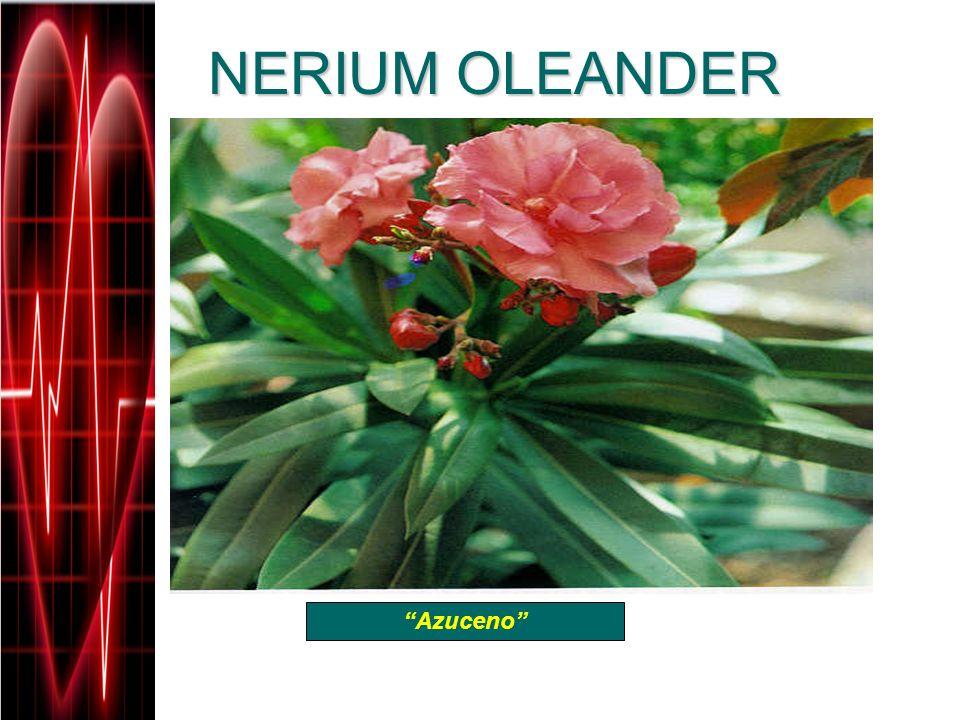 NERIUM OLEANDER Azuceno