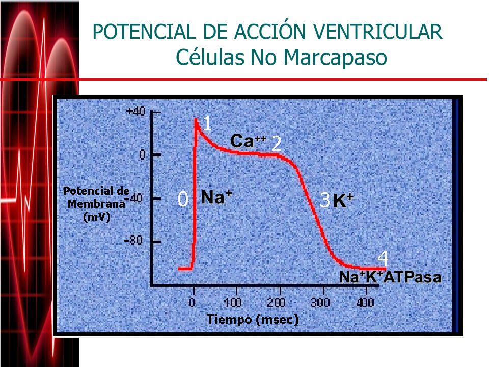 Células No Marcapaso Na + Ca ++ K+K+K+K+ Na + K + ATPasa POTENCIAL DE ACCIÓN VENTRICULAR