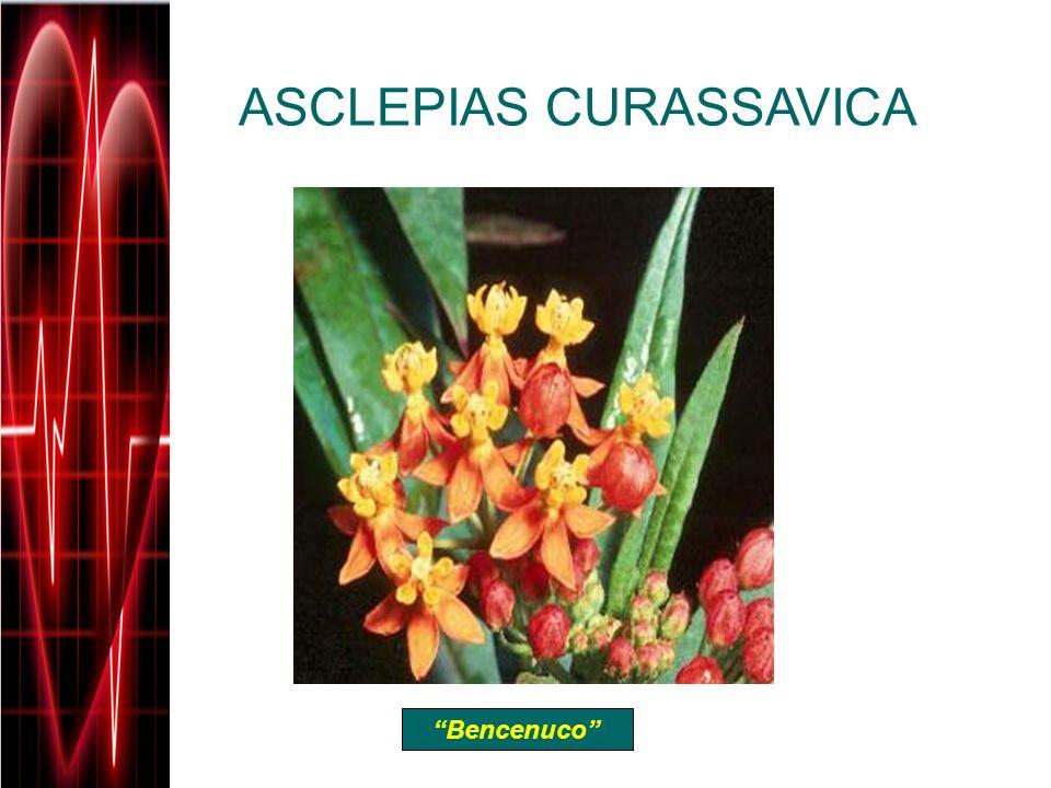 ASCLEPIAS CURASSAVICA Bencenuco