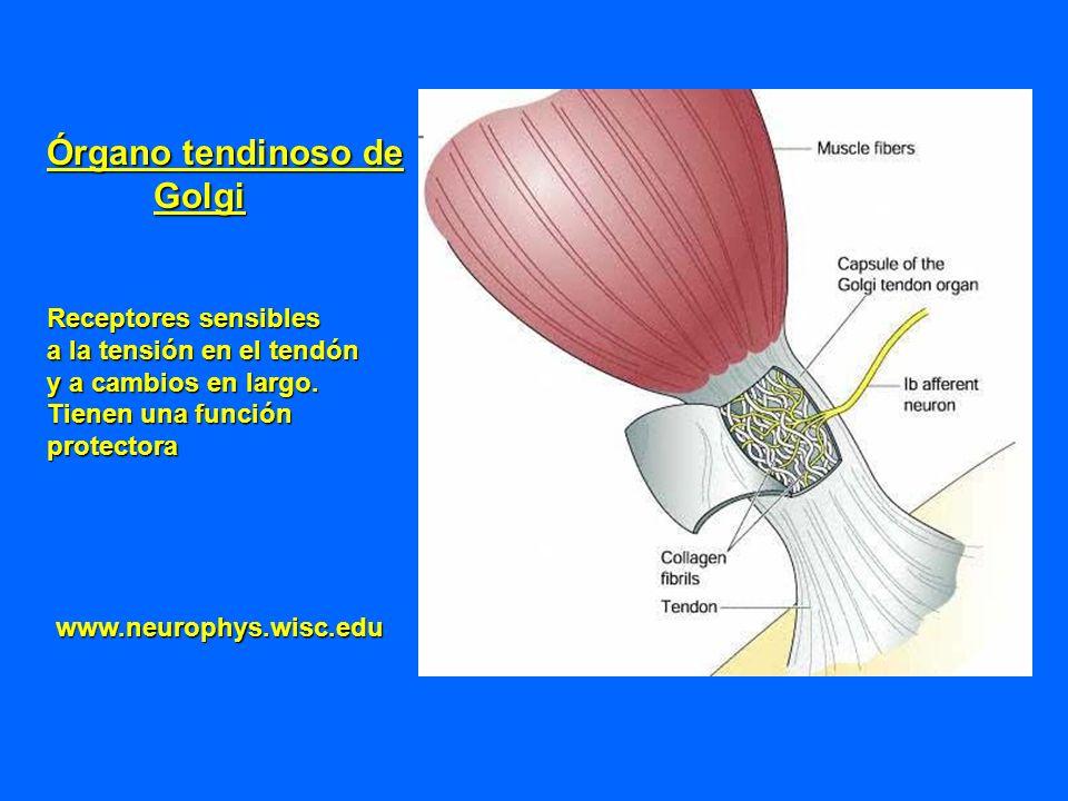 Órgano tendinoso de Golgi Receptores sensibles a la tensión en el tendón y a cambios en largo. Tienen una función protectora www.neurophys.wisc.edu