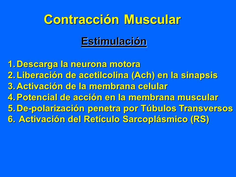 Contracción Muscular Estimulación 1.Descarga la neurona motora 2.Liberación de acetilcolina (Ach) en la sinapsis 3.Activación de la membrana celular 4