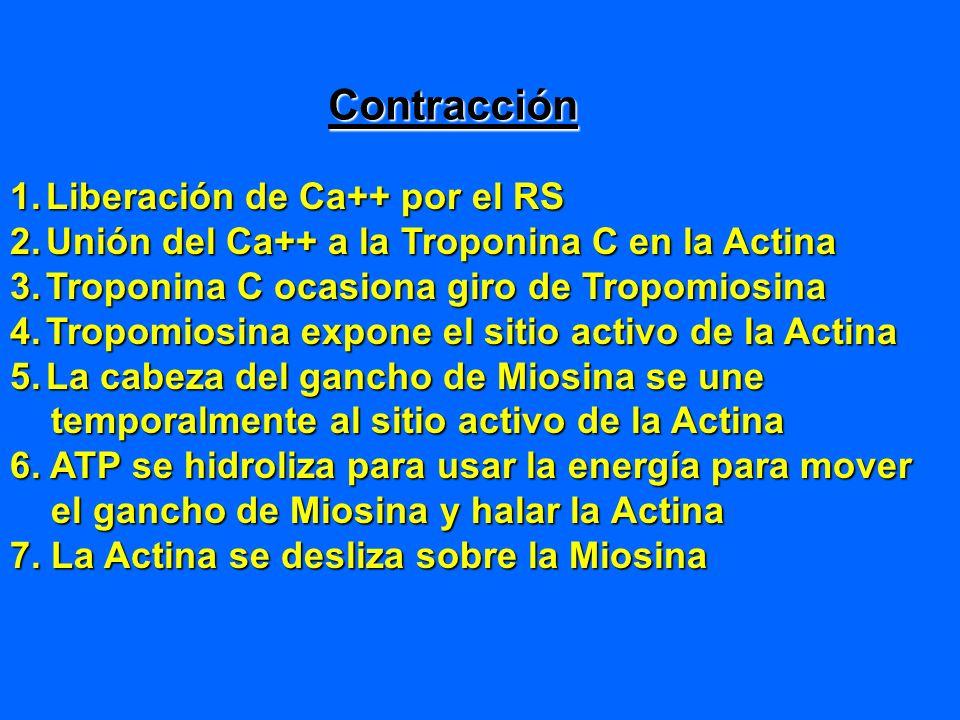 Contracción 1.Liberación de Ca++ por el RS 2.Unión del Ca++ a la Troponina C en la Actina 3.Troponina C ocasiona giro de Tropomiosina 4.Tropomiosina e
