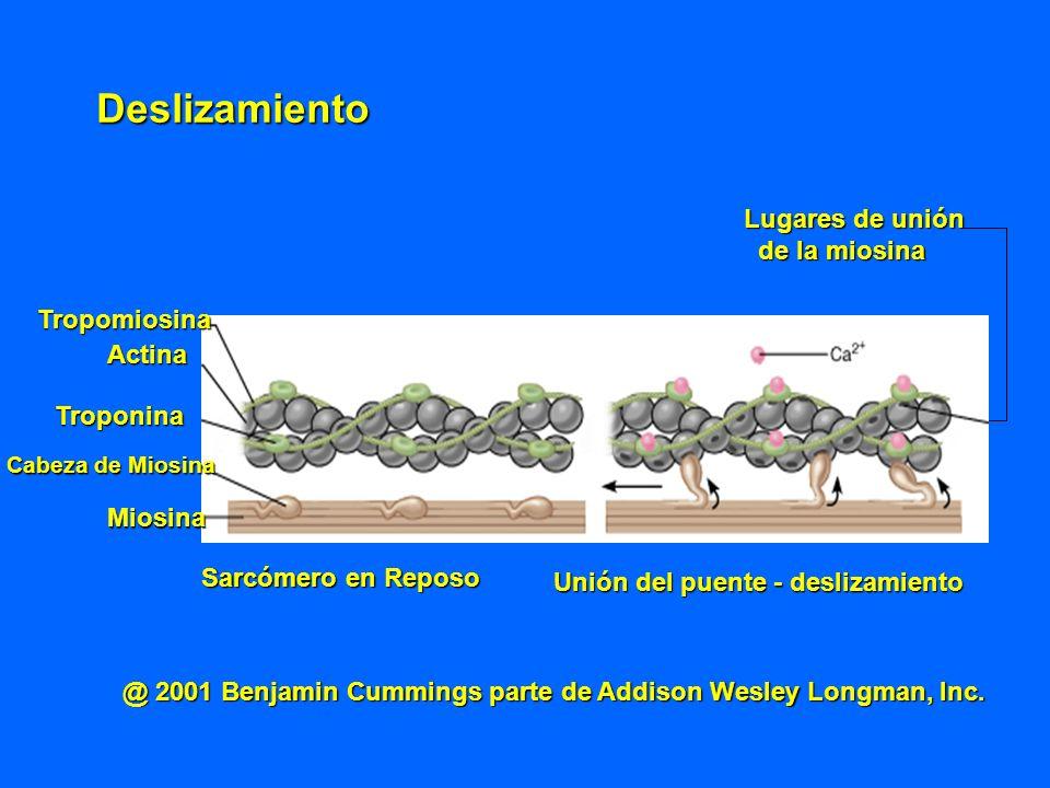 Tropomiosina Actina Troponina Cabeza de Miosina Cabeza de Miosina Miosina Sarcómero en Reposo Unión del puente - deslizamiento Lugares de unión de la