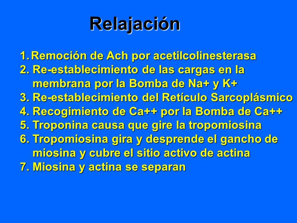 Relajación 1.Remoción de Ach por acetilcolinesterasa 2. Re-establecimiento de las cargas en la membrana por la Bomba de Na+ y K+ membrana por la Bomba