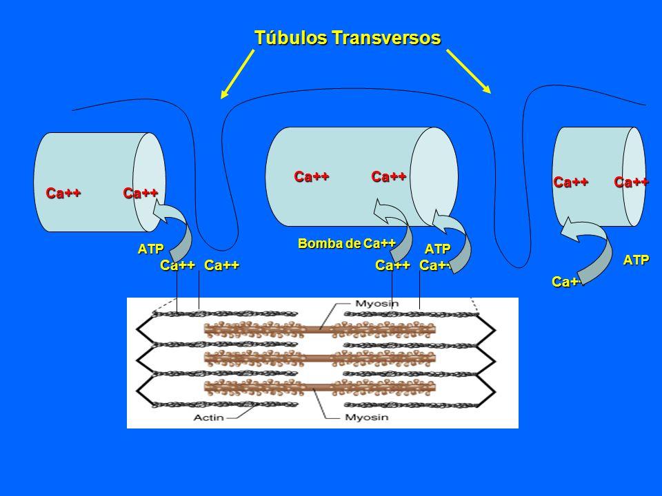 Ca++ Ca++ Ca++ Bomba de Ca++ ATP ATP ATP Túbulos Transversos