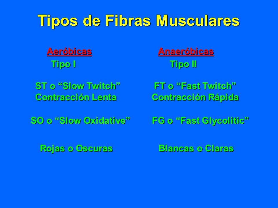Tipos de Fibras Musculares AeróbicasAnaeróbicas Tipo I Tipo II ST o Slow Twitch FT o Fast Twitch Contracción Lenta Contracción Rápida SO o Slow Oxidat