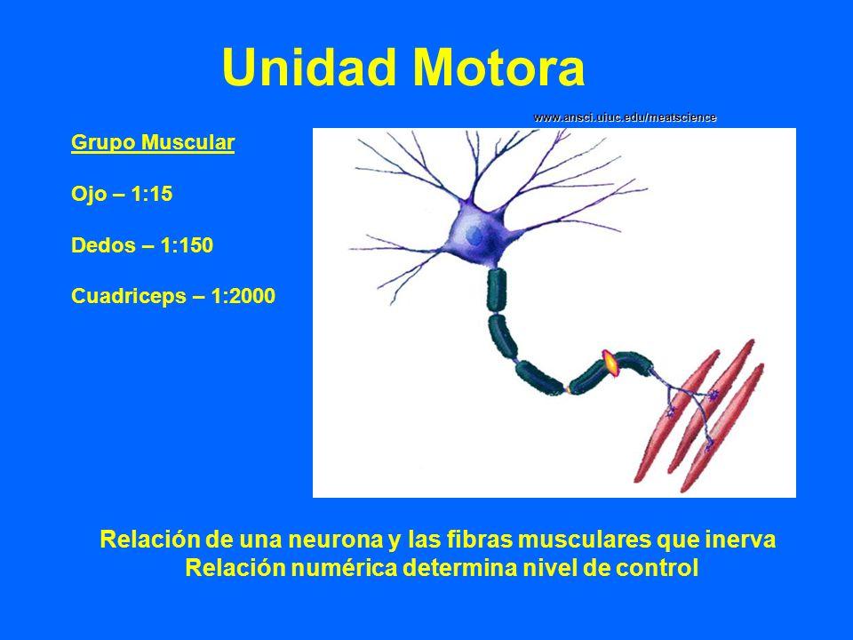 Unidad Motora Relación de una neurona y las fibras musculares que inerva Relación numérica determina nivel de control Grupo Muscular Ojo – 1:15 Dedos