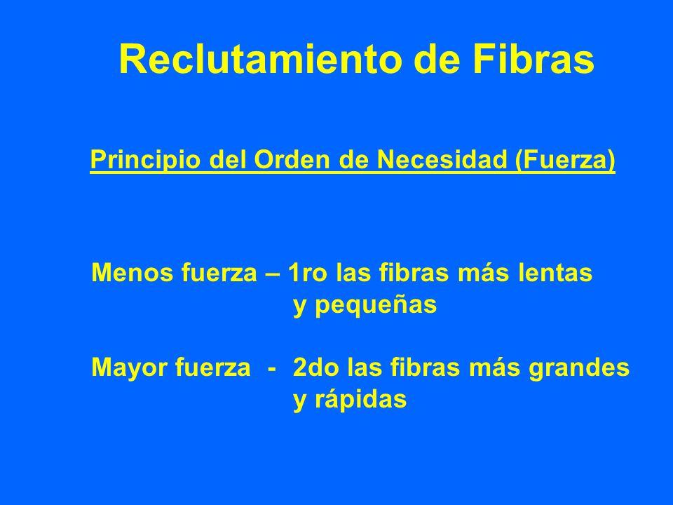 Reclutamiento de Fibras Principio del Orden de Necesidad (Fuerza) Menos fuerza – 1ro las fibras más lentas y pequeñas Mayor fuerza -2do las fibras más