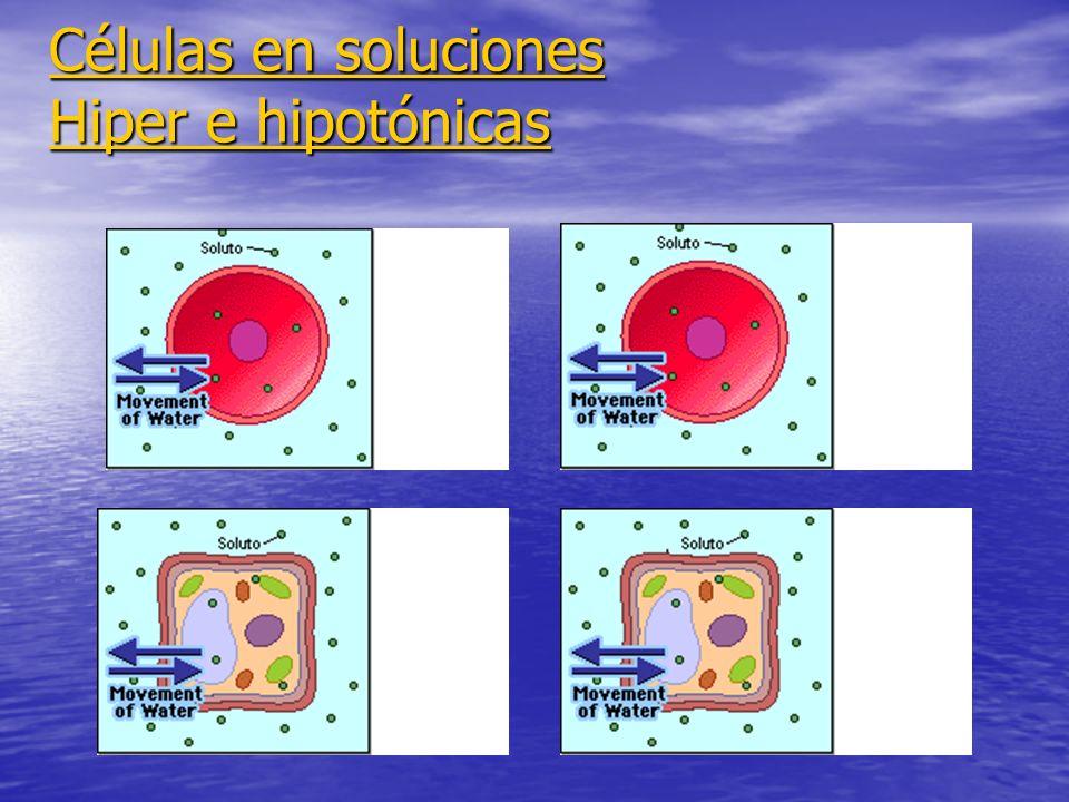 Células en soluciones Hiper e hipotónicas Células en soluciones Hiper e hipotónicas