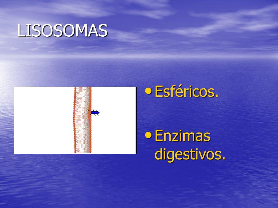 LISOSOMAS Esféricos. Esféricos. Enzimas digestivos. Enzimas digestivos.