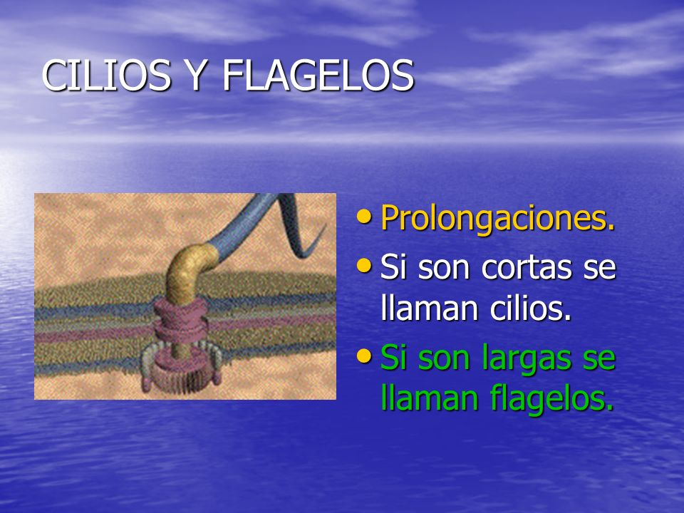CILIOS Y FLAGELOS Prolongaciones.Prolongaciones. Si son cortas se llaman cilios.