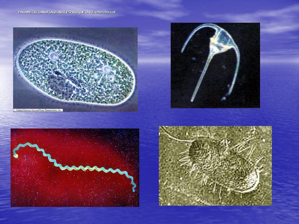 PARAMECIO, DINOFLAGELADO, ESPIROQUETA Y Escherichia coli.