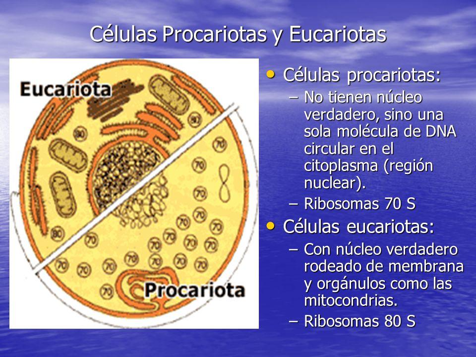 Células Procariotas y Eucariotas Células procariotas: Células procariotas: –No tienen núcleo verdadero, sino una sola molécula de DNA circular en el citoplasma (región nuclear).