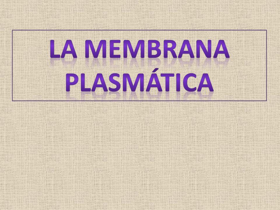 TRANSPORTE DE MOLÉCULAS DE ELEVADA MASA MOLECULAR EXOCITOSIS PINOCITOSIS FAGOCITOSIS ENDOCITOSIS MEDIADA POR RECEPTOR ENDOCITOSIS Las macromoléculas, virus o bacterias no pueden atravesar la membrana plasmática.