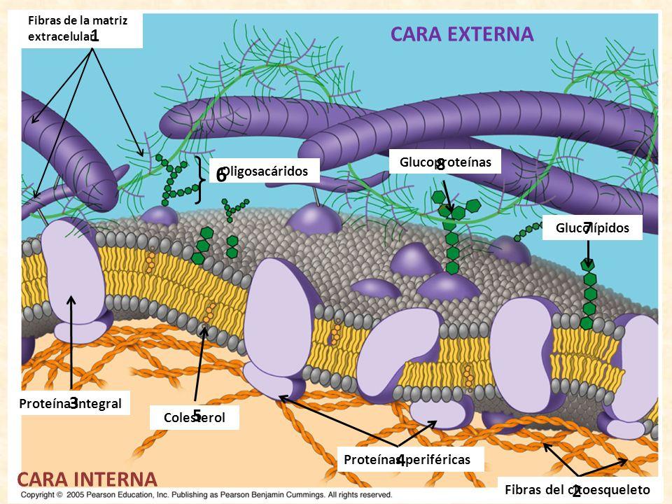 Fibras de la matriz extracelular 1 CARA EXTERNA CARA INTERNA Fibras del citoesqueleto 2 Proteína integral 3 Proteínas periféricas 4 Colesterol 5 Glucolípidos 7 Oligosacáridos 6 Glucoproteínas 8