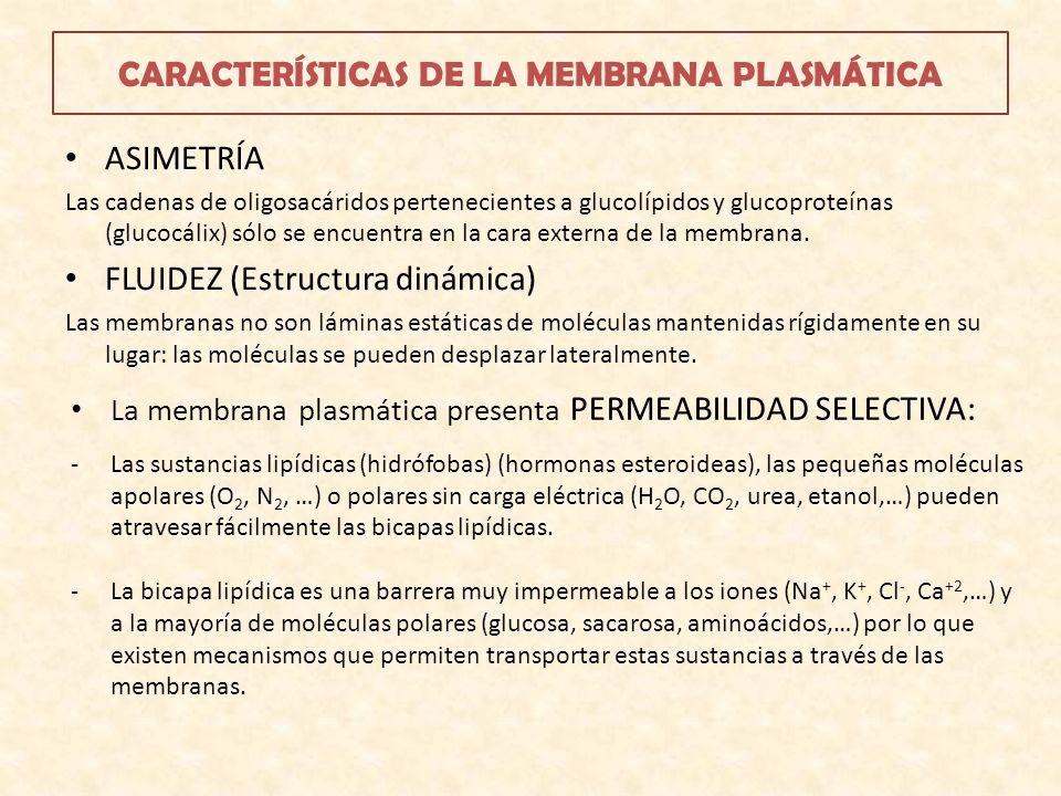 CARACTERÍSTICAS DE LA MEMBRANA PLASMÁTICA ASIMETRÍA Las cadenas de oligosacáridos pertenecientes a glucolípidos y glucoproteínas (glucocálix) sólo se