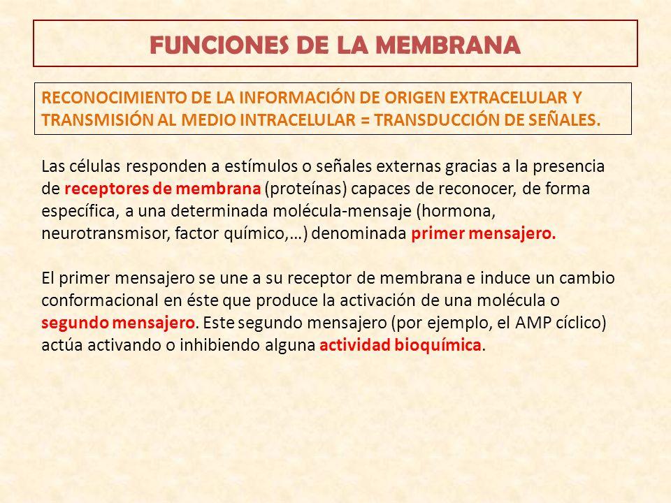 FUNCIONES DE LA MEMBRANA RECONOCIMIENTO DE LA INFORMACIÓN DE ORIGEN EXTRACELULAR Y TRANSMISIÓN AL MEDIO INTRACELULAR = TRANSDUCCIÓN DE SEÑALES. Las cé