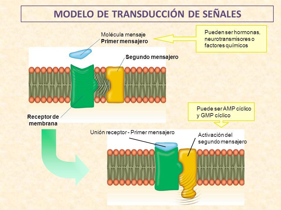 Molécula mensaje Primer mensajero Receptor de membrana Segundo mensajero Pueden ser hormonas, neurotransmisores o factores químicos Puede ser AMP cícl
