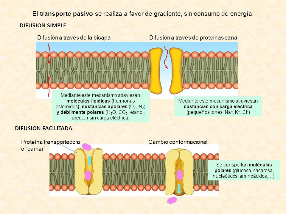 DIFUSION SIMPLE El transporte pasivo se realiza a favor de gradiente, sin consumo de energía. Difusión a través de la bicapaDifusión a través de prote