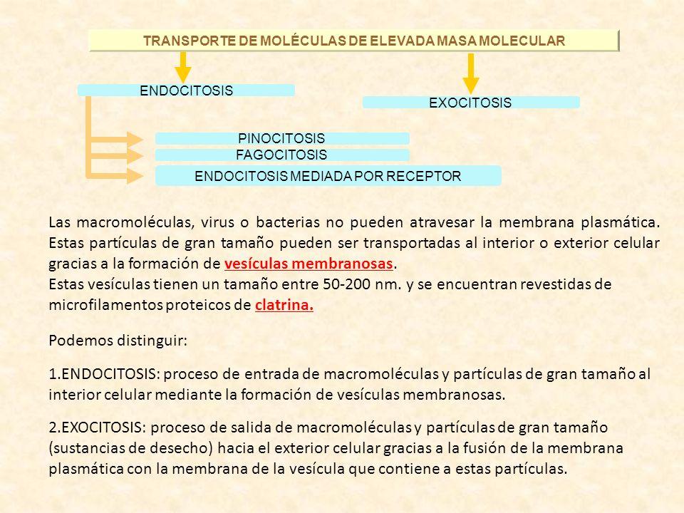 TRANSPORTE DE MOLÉCULAS DE ELEVADA MASA MOLECULAR EXOCITOSIS PINOCITOSIS FAGOCITOSIS ENDOCITOSIS MEDIADA POR RECEPTOR ENDOCITOSIS Las macromoléculas,