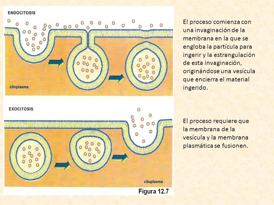 El proceso comienza con una invaginación de la membrana en la que se engloba la partícula para ingerir y la estrangulación de esta invaginación, origi