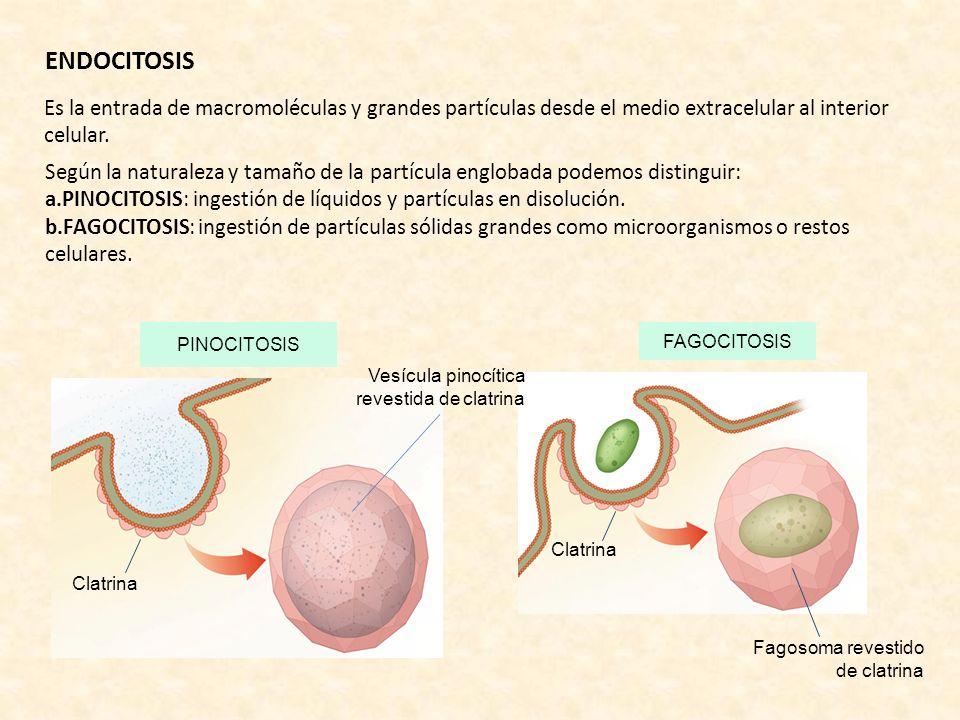 PINOCITOSIS Clatrina ENDOCITOSIS Es la entrada de macromoléculas y grandes partículas desde el medio extracelular al interior celular. Según la natura