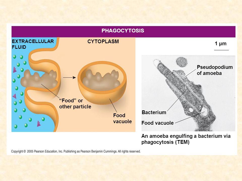 CYTOPLASM Food or other particle EXTRACELLULAR FLUID Bacterium Food vacuole An amoeba engulfing a bacterium via phagocytosis (TEM) Pseudopodium of amo